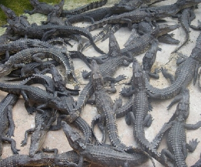 Крокодиловая ферма в Самутпракарн