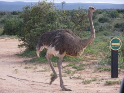 Парк страусов Кэшу в Лаковии